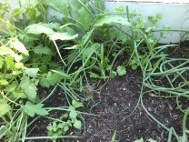 Onions, parsley, big leafy things, weeds?