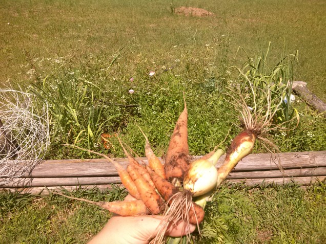 Handful of carrots and onions in front of a weed-filled raised garden bed