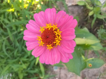 Pink zinnia in bloom