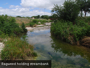RagweedHoldingStreambank